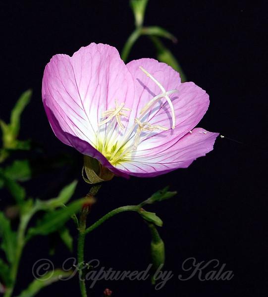 Pretty Pink Primrose