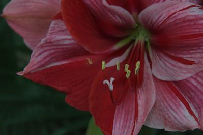 Amaryllidaceae -  Amaryllis