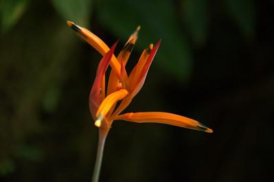 Heliconiaceae -  Heliconia psittacorum