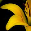 yellow daffodil-0837