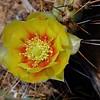 Opuntia Cactus Flower