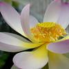 Lotus #2