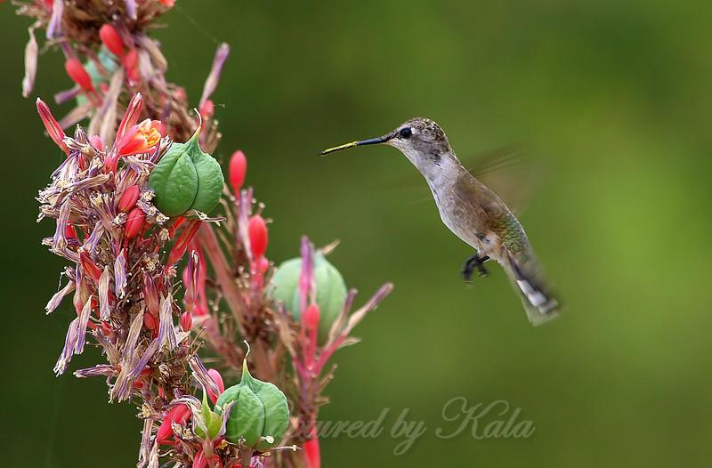 Pollinated Hummingbird