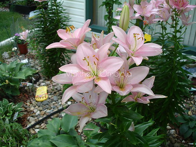 Amarcrinum Fred Howard. Stargazer lily. Pink flower