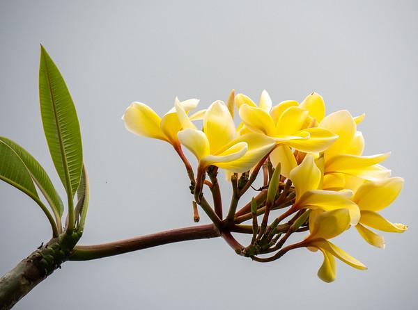 yellw frangipani