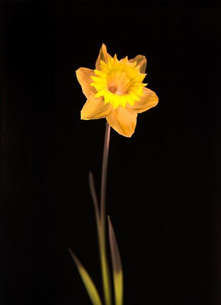 Daffodil, Study #12