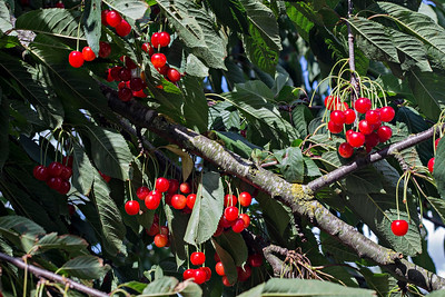 Branches Laden With Cherries