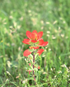 Backyard Indian Paintbrush