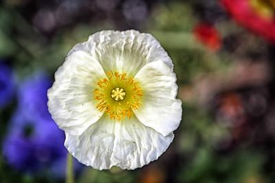 California Flower 4