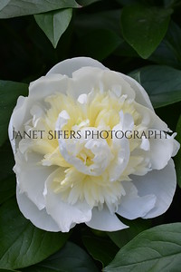 White and yellow ruffled peony