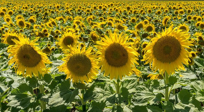 Sunflower 4 Some