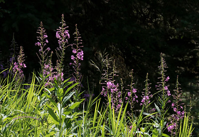 Fireweed in the Forest.