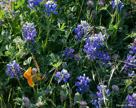 Lupines, California Poppy, and Clover