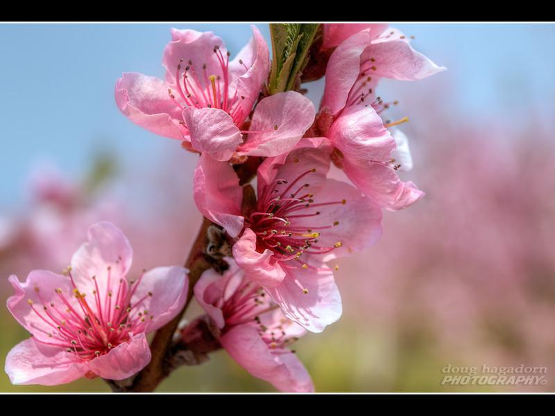 Niagara Blossums (#0145)