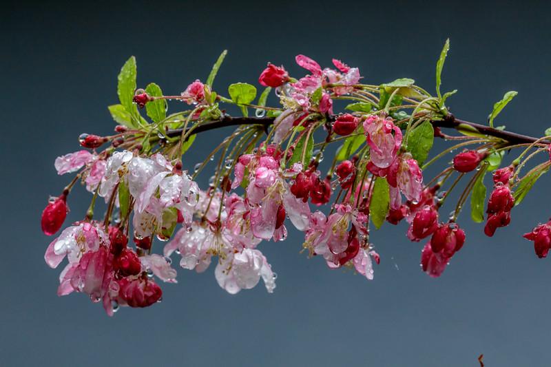 Raindrops on Crabapple Blossoms