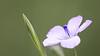 Pale Flax / Linum bienne / Tweejarig vlas