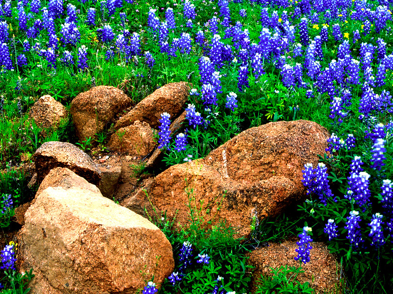 Bluebonnets & Rocks