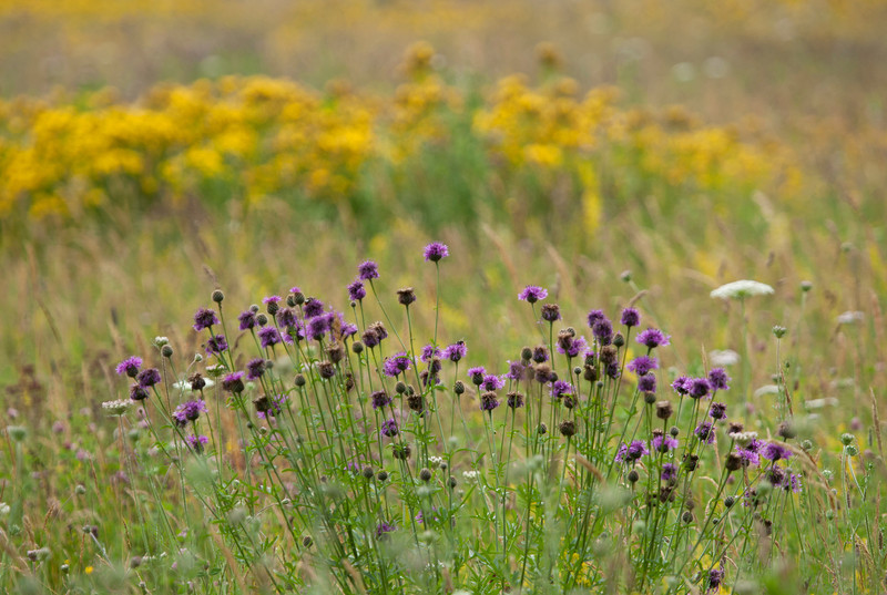 Yellow and Purple Flowers in a Wild Flower Meadow