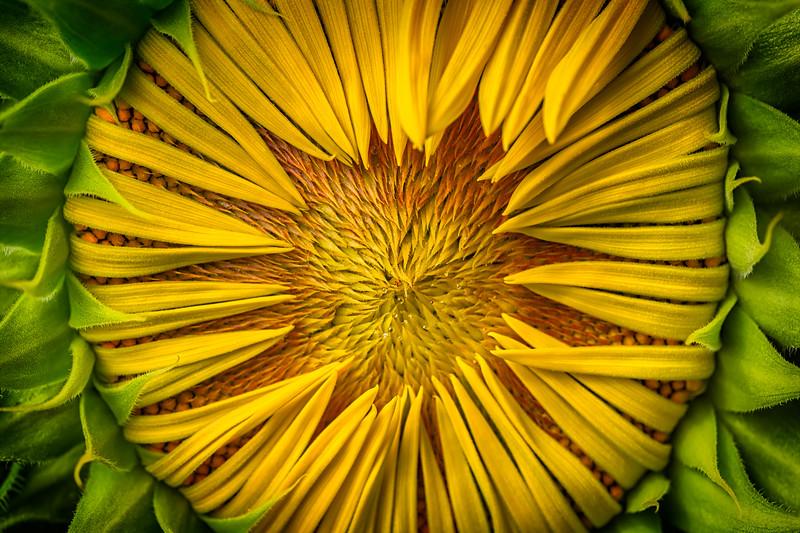The Warming Sunflower Disc