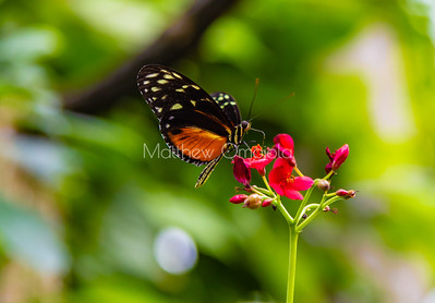 Tiger longwing butterfly. Golden longwing butterfly on crimson flower