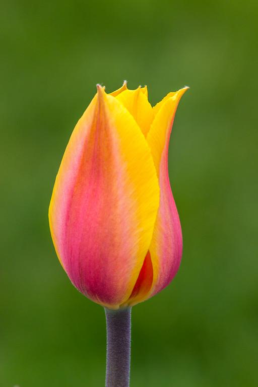 Tulip Fire
