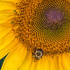 Flowers 5 - Sunflower and Bee
