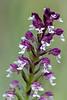 Burnt-tip Orchid / Neotinea ustulata / Aangebrande orchis