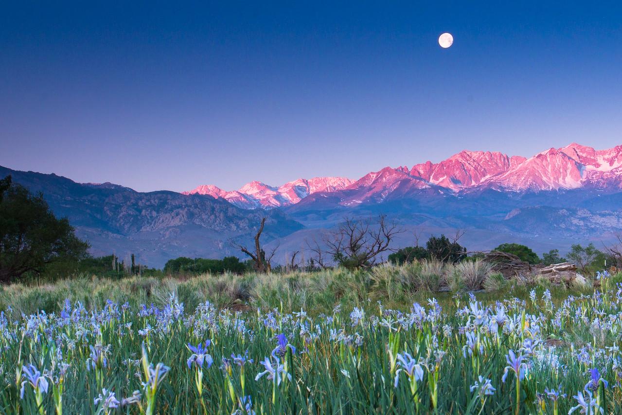 Moonset with Wild Irises