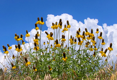 Cone Flowers and Clouds