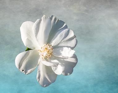 Antipue Rose