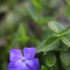 precious purple ...