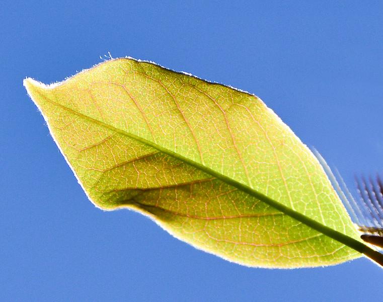 Back lit leaf.jpg