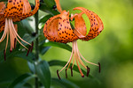Tiger Lily 1