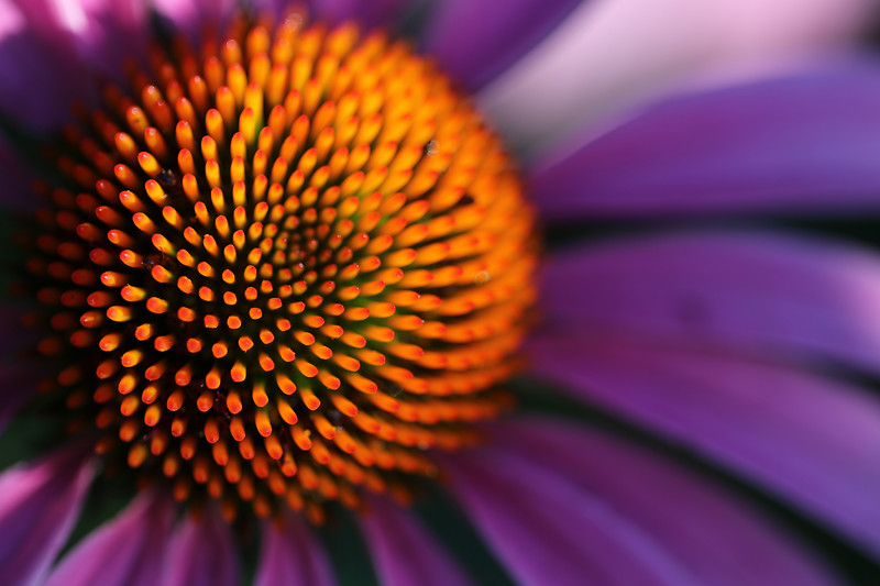 Echinacea Flower, Aurora, Illinois