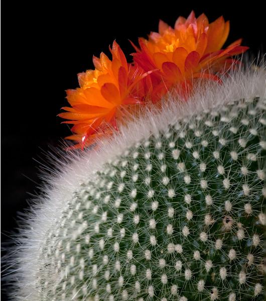 Barrel Cactus Blooms
