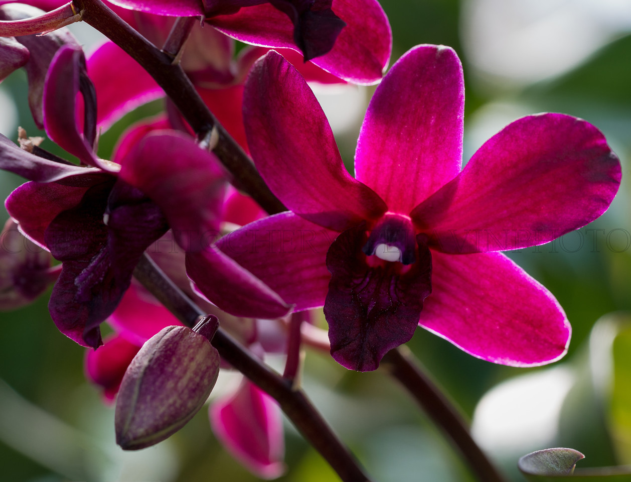 Backlit Burgandy Orchid and Bud