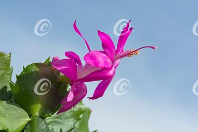 Dark Pink Christmas Cactus Flower