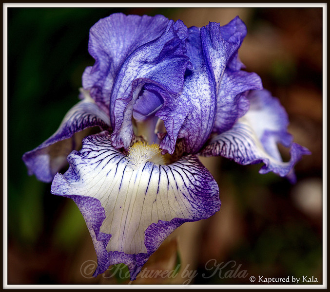 Last Iris of the Year