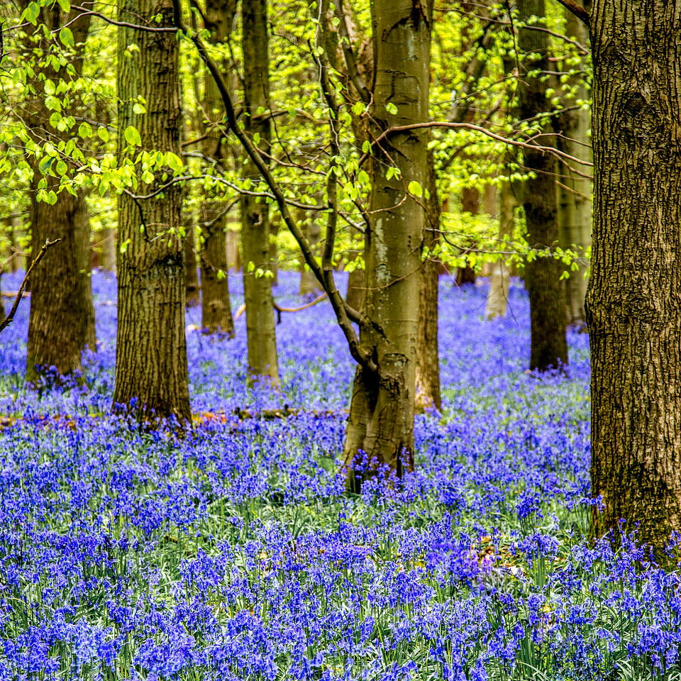 Bluebells, square crop