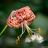 Tiger lily with pollen on anther