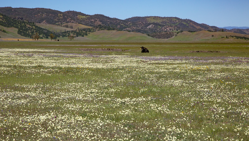 Bear Valley Cow & Wildflowers 6037