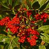Wild Coffee plant
