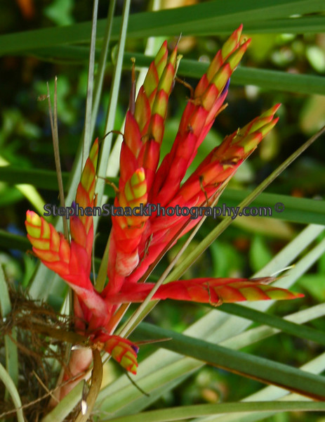 Quill-leaf air plant