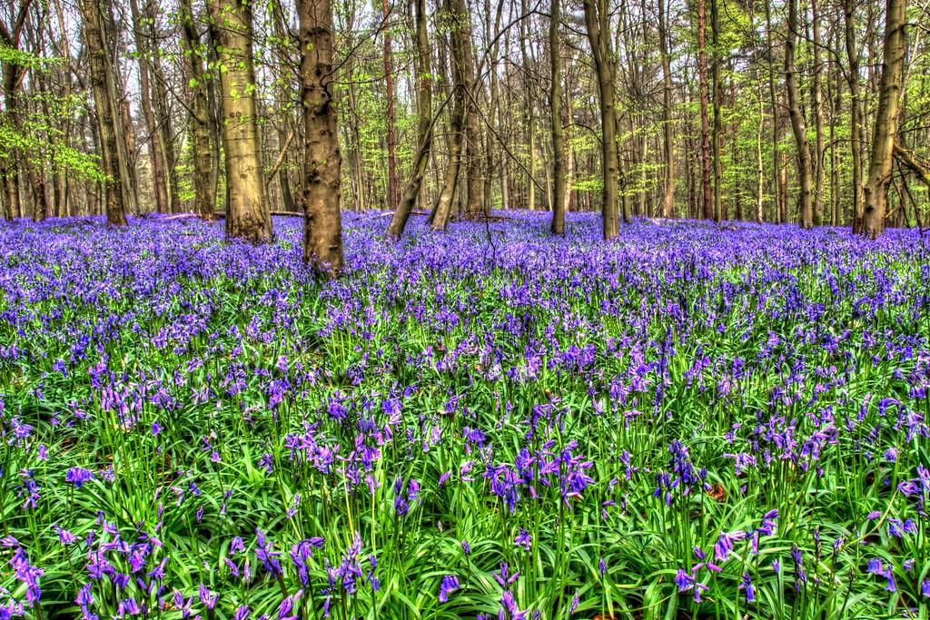 Blue Bell Wood 5