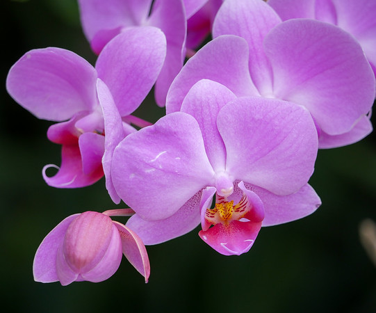purple phalaenopsis