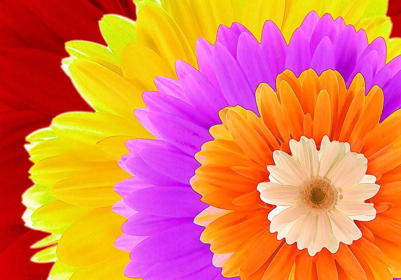 Gerbera Multicolor