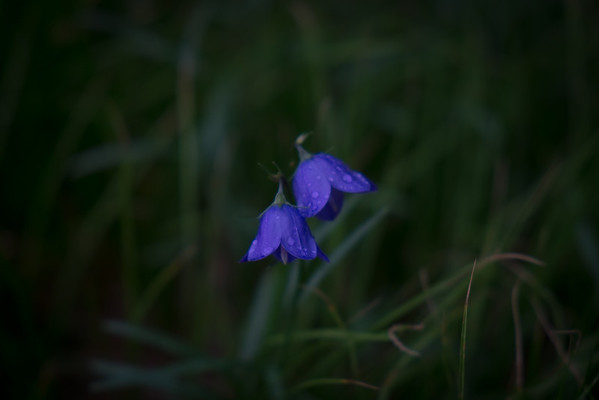 Parry Bellflowers