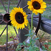 Sun Flowers #450