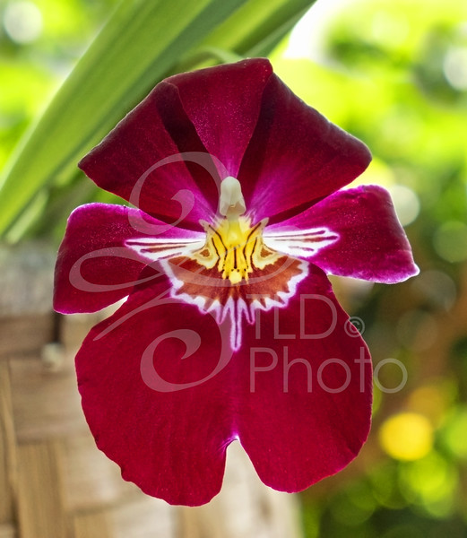 TLD_Red Orchid