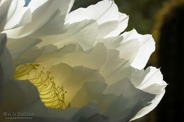 White Flower Of The Desert